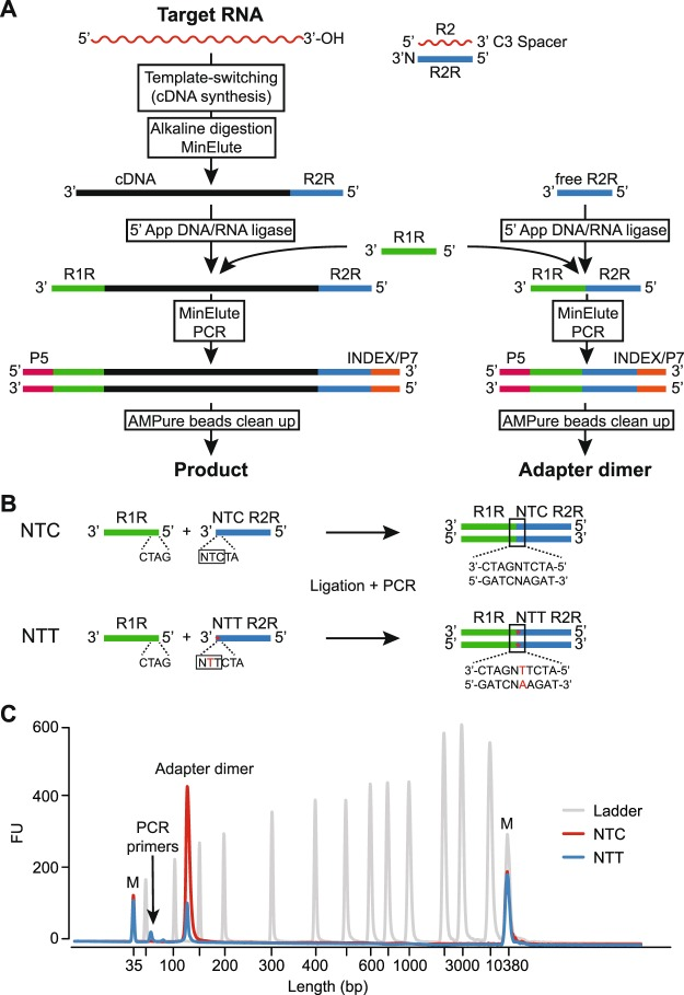 TGIRT-seq workflow and design of an improved R2R adapter that decreases adapter-dimer formation. ( A ) TGIRT-seq workflow. In the first step, TGIRT enzyme binds to an artificial template-primer substrate comprised of an RNA oligonucleotide containing an Illumina R2 sequence with a 3′-end blocking group (3SpC3) annealed to a complementary DNA oligonucleotide (R2R) that leaves a single nucleotide 3′ overhang, which can direct template-switching by base pairing to the 3′ end of an RNA template. For the preparation of TGIRT-seq libraries from pools of RNAs, the DNA primer consists of a mixture of DNA oligonucleotides that leave A, C, G, and T 3′ overhangs (denoted N). After pre-incubation of the TGIRT enzyme with the target RNAs and template-primer (see Methods), template-switching and reverse transcription of an RNA template are initiated by adding dNTPs. The resulting cDNA with an R2R adapter attached to its 5′ end is incubated with NaOH to degrade the RNA template and neutralized with HCl, followed by two rounds of MinElute clean-up using the same MinElute column (Qiagen). A pre-adenylated oligonucleotide containing the reverse complement of an Illumina R1 sequence (R1R) is then ligated to the 3′ end of the cDNA by using thermostable 5′ App DNA/RNA ligase (New England Biolabs), followed by MinElute clean-up and 12 cycles of PCR amplification with primers that add indices and capture sites for Illumina sequencing. Unused R2R adapters that are carried over from previous steps are also ligated to the R1R adapter by the 5′ App DNA/RNA ligase (New England Biolabs), resulting in the formation of adapter dimers (pathway at right), which are removed by AMPure beads clean-up prior to sequencing. ( B ) Taking into account known biases of the 5′ App DNA/RNA ligase 7 , 28 , 29 , the R2R adapter used previously in TGIRT-seq (denoted NTC) was modified by inserting a single T-residue at position −3, creating a modified R2R adapter (denoted NTT), which decreases adapter-dimer formation. ( C ) Bioanalyzer traces comparing adapter-dimer formation using the previous NTC and improved NTT R2R adapters. 2 pmole of the NTC or NTC R2R adapter was ligated to 40 pmole of adenylated R1R adapter followed by 12 cycles of PCR according to the TGIRT-seq protocol and 1 round of clean-up with 1.4X AMPure beads to remove salt, PCR primers, and adapter dimers. The products were analyzed by using a 2100 Bioanalyzer (Agilent) with a high sensitivity DNA chip. M: internal markers in the NTC (red) or NTT (blue) traces.