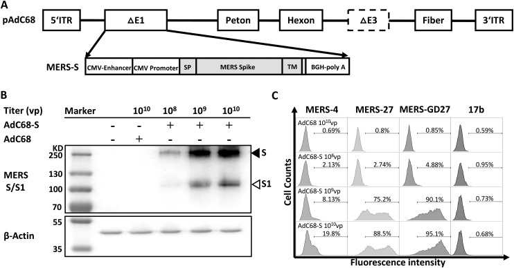 Generation and evaluation of recombinant AdC68 expressing full-length MERS-CoV spike protein. (A) Schematic representation of the recombinant AdC68 expressing the full-length MERS-CoV spike gene (AdC68-S) (Genbank accession number: JX869059). Spike gene was inserted into the E1 region of AdC68 under the control of the CMV promoter and terminated by bovine growth hormone (BGH) polyadenylation signal sequence. (B) Western blot analysis of MERS-CoV S protein expression in 293 T cells after infection with AdC68-S (10 8 , 10 9 and 10 10 vp). MERS-S protein in cell lysates was probed by Rabbit anti-MERS-S1 polyclonal antibody (Sino biological). The solid arrow points to the band of S protein while the hollow arrow points to the band of S1 protein cleaved from S by the protease. (C) Cell surface expression of MERS-CoV S protein analysed by MERS-CoV-specific antibodies MERS-4, MERS-27, MERS-GD27. Cell lysates or cells infected by empty AdC68 (10 10 vp) were used as negative controls. 17b, an antibody against HIV-1, was used as a negative control antibody.