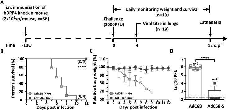 Intranasal immunization with AdC68-S provides complete protection against lethal MERS-CoV challenge in human DPP4 knock-in mice. (A) Timeline for immunization, challenge and evaluation of protective efficacy. Human DPP4 knock-in (KI) mice were immunized with either 2 × 10 9 vp AdC68-S or empty AdC68 via i.n. route. Ten weeks later, the same set of animals were challenged intranasally with 2000 PFU of mouse-adapted MERS-CoV strain MERS-CoV-MA and monitored daily for (B) survival and (C) weight loss. On day-4 post-infection, lung virus titres (D) were examined. Data are shown as mean ± SEM. p -values were analysed with Student's t-test (**** P
