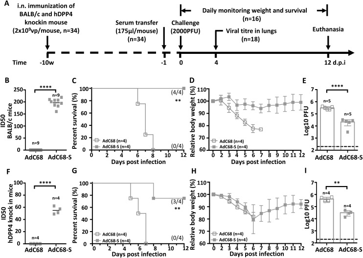 Protective efficacy of passive immunization with AdC68-S immune sera. (A) Timeline of immunization, serum transfer, challenge, and monitoring for various biological and clinical outcomes. BALB/c and human DPP4 KI mice were immunized with either 2 × 10 9 vp AdC68-S or empty vector AdC68 via i.n. route. 175 µl of immune sera collected from these BALB/c and hDPP4-KI mice were transferred to hDPP4-KI mice via intraperitoneal route one day before lethal 2000 PFU MERS-CoV-MA infection. (B) Neutralizing activity of immune sera from immunized BALB/c (B) and hDPP4-KI (F) mice. (C-E) Survival (C), weight loss (D) and lung viral titres (E) in hDPP4-KI mice receiving sera from immunized BALB/c mice. (G-I) Survival (G), weight loss (H) and lung viral titres (I) in hDPP4-KI mice receiving sera from immunized hDPP4-KI mice. Data are mean ± SEM. p -values were analysed with Student's t-test (** P