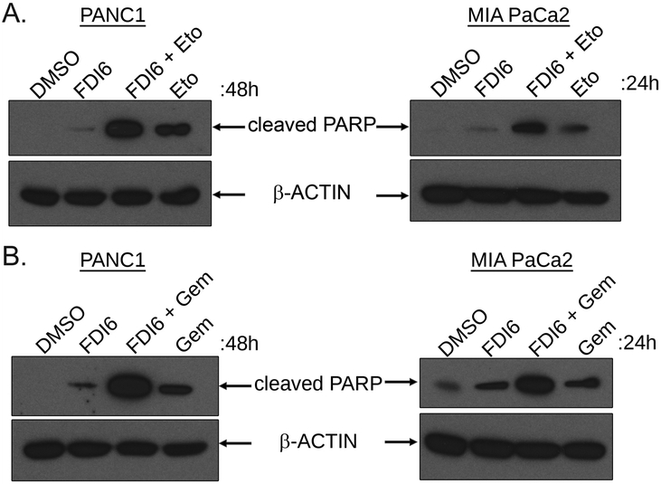 FOXM1 inhibition sensitizes PDAC cells to Etoposide and Gemcitabine A. PANC1 (left panel) and MIA PaCa2 (right panel) cells were treated with FDI6 20μM with or without Etoposide (Eto) 10μM for 48 hours (PANC1) or 24 hours (MIA PaCa2). The cells were lysed and cleaved PARP was analyzed by Western Blot. B. PANC1 (left panel) and MIA PaCa2 (right panel) cells were treated with FDI6 20μM with or without Gemcitabine (Gem) 10μM (PANC1) or 5μM (MIA PaCa2) for 48 hours or 24 hours respectively. The cells were lysed and the levels of cleaved PARP was analyzed by Western blot.