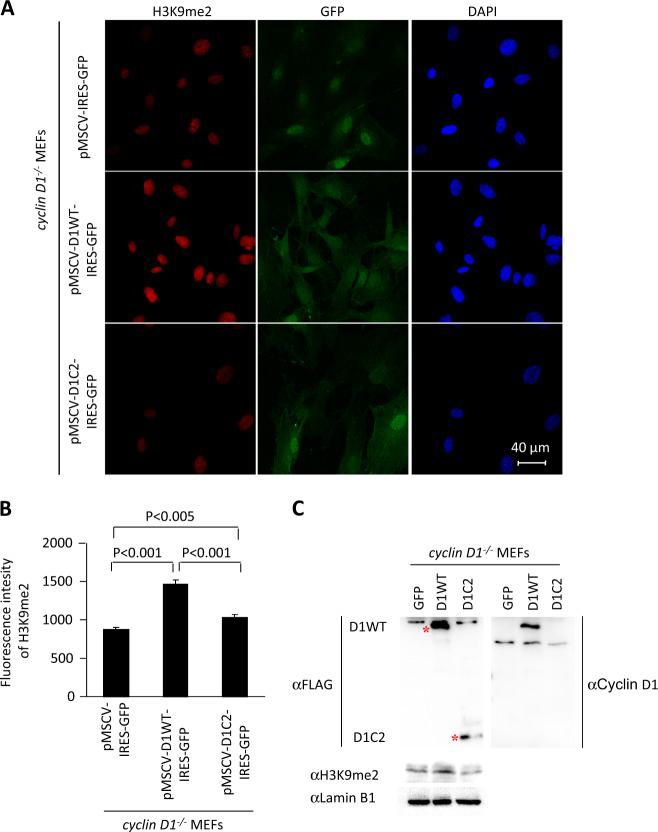 The G9a-binding defective mutant of cyclin D1 fails to augment H3K9me2. a Confocal microscopy of immunofluorescence for H3K9me2 (red) and nuclear staining with 4′,6-diamidino-2-phenylindole (DAPI; blue) in cyclin D1 wild-type and knockout mouse embryonic fibroblasts (MEFs), and cyclin D1 −/− MEFs rescued with MSCV-cyclin D1 WT -IRES-GFP, MSCV-cyclin D1 C2 -IRES-GFP, or vector control. Images demonstrate the reduction in H3K9me2 in cyclin D1 −/− cells and rescue with cyclin D1 WT . Scale bar, 40 μm with ( b ) quantitation of mean fluorescence shown as mean ± SEM. c Western blot of cyclin D1 −/− MEFs rescued with MSCV-cyclin D1 WT -IRES-GFP, MSCV-cyclin D1 C2 -IRES-GFP, or vector control, with antibodies as indicated