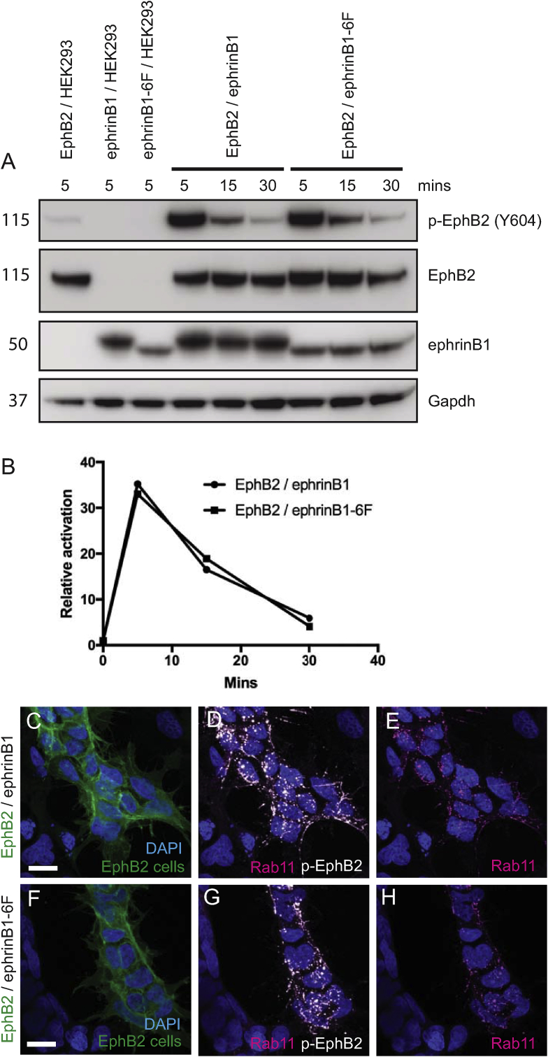 Activation of EphB2 by ephrinB1 and ephrinB1-6F. (A): Cells expressing EphB2, ephrinB1 or ephrinB1-6F, or control HEK293 cells, were mixed in different combinations in a tube and centrifuged to force them into contact. The cells were lysed at the indicated time points, then subjected to Western blot analysis to detect EphB2, phospho-EphB2 and ephrinB1, and Gapdh as loading control. (B): Quantitation of phospho-EphB2 detected, normalised to the amount of EphB2 protein. The low amount of endogenous ephrinBs in HEK293 cells elicit low level EphB2 phosphorylation. There is a similar time course of EphB2 phosphorylation after interaction with ephrinB1 or ephrinB1-6F cells, with a > 30-fold increase by 5 min that progressively declines at 15 min and 30 min. (C-H): immunostaining of co-cultures of EphB2/ephrinB1 (C–E) and EphB2/ephrinB1-6F cells (F-H) to detect p-EphB2 and a marker of intracellular vesicles, Rab11. EphB2 cells co-express GFP (green signal in C, F). Activation of EphB2 with ephrinB1 or ephrinB1-6F leads to translocation from the cell surface to intracellular vesicles. Scale bar, 10 μm. (For interpretation of the references to colour in this figure legend, the reader is referred to the Web version of this article.)