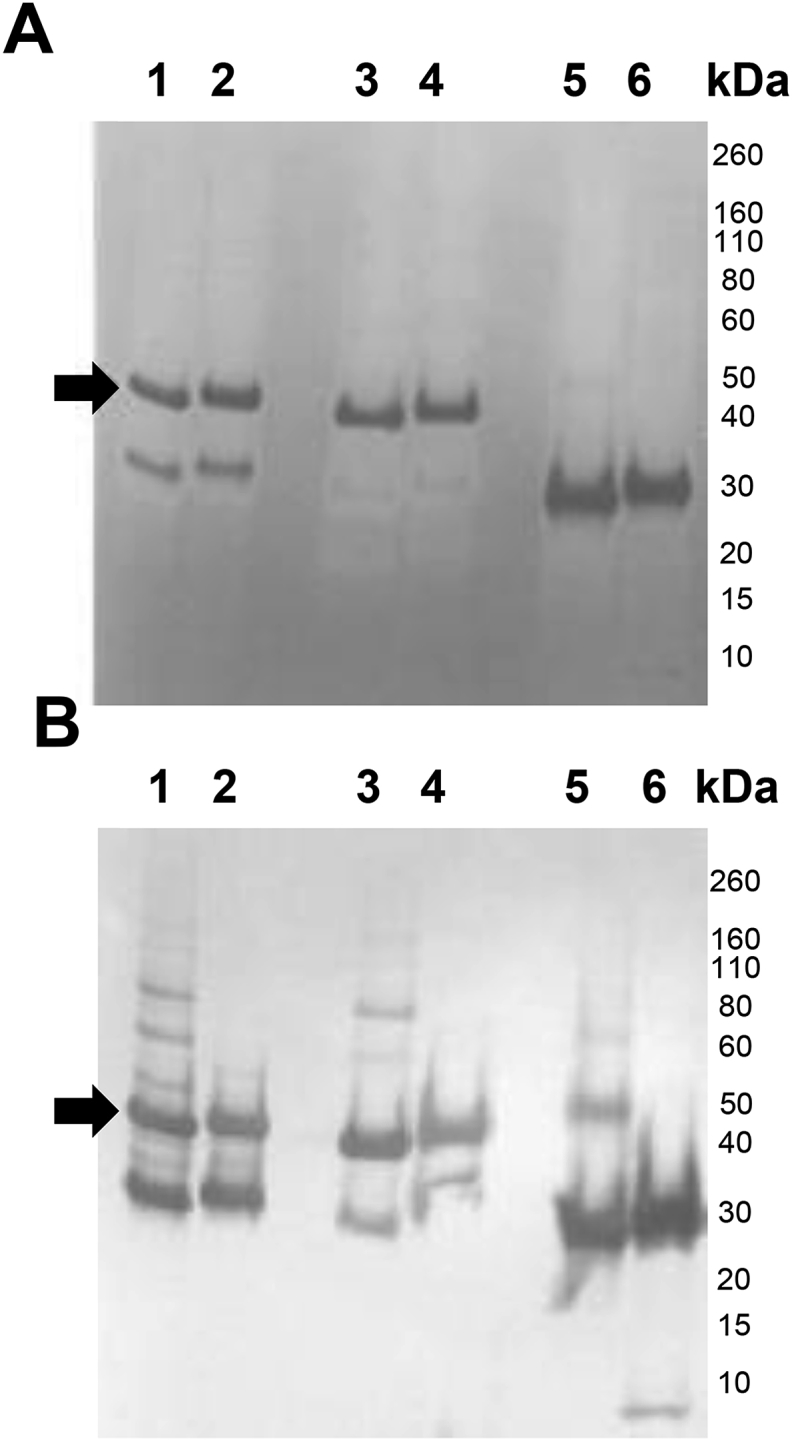 (A) SDS-PAGE and (B) Western blot (anti-his antibody) analysis of purified Pfs230C1 from Super Sf9 (Lanes 1–2), Sf9 (Lanes 3–4) and High Five cells (Lanes 5–6). Samples loaded under non-reducing (Lanes 1, 3, 5) and reducing (Lanes 2, 4, 6) conditions. Arrows indicate the target Pfs230C1 protein.