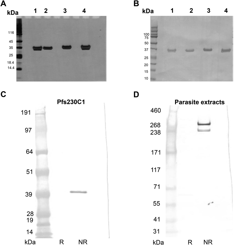 SDS-PAGE and Western blot analysis of final purified Pfs230C1. (A) SDS-PAGE under non-reducing and reducing conditions followed by silver stain. (B) Western blot with anti-his antibody. (A–B) Lanes 1–2 representative Pfs230C1 from the original Super <t>Sf9</t> process [ 16 ], and Lanes 3–4 Pfs230C1 derived from 20 L optimized process. Non-reducing (Lanes 1, 4) and reducing (Lanes 2, 3) conditions. Western blot analysis of (C) Pfs230C1 and (D) native parasite extracts with mouse monoclonal antibody 15A4-1B12 under reducing (R) and non-reducing (NR) conditions. Different molecular weight marker standards are utilized for panels C and D given the difference in molecular weight of target protein. Expected molecular weight of native Pfs230 is ∼363 kDa, however, since protease inhibitors are not utilized, multiple bands are visible.