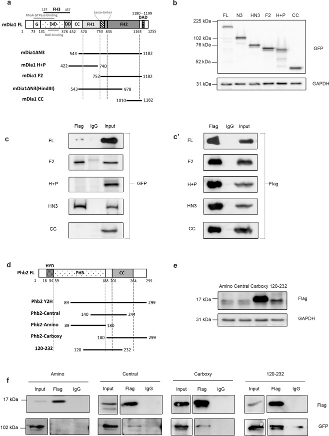 Mapping interaction domains on mDia1 and Phb2. ( a ) Schematic for mouse mDia1 truncation mutants. ( b ) Western blot to detect expression level of mDia1 mutants. Lysates from HEK293T transfected with mDia1 mutants were probed using anti-GFP antibody. GAPDH was used as a loading control. All the lysates were run on a single gel, the blot was cut and processed in parallel for detection of GFP-tagged mDia1 mutants and GAPDH. ( c , c ') Co-IP of mDia1 mutants and Phb2 to map interaction domains. HEK293T cells were transfected with Phb2-Y2H and various mDia1 mutants, followed by IP with anti flag antibody. IP products were run on different gels, the blots were cut and processed in parallel for detection of interacting mutants. ( d ) Schematic for mouse Phb2 truncation mutants. ( e ) Western blot to detect expression of Phb2 mutants. Lysates of HEK293T transfected with Phb2 mutants were loaded on a single gel, the blot was cut and analysed in parallel using anti-flag and anti-GAPDH antibodies. GAPDH was used as a loading control. ( f ) Co-IP of Phb2 mutants and mDia1 to map interaction domains. Lysates from HEK293T cells co-transfected with various Phb2 mutants and mDia1ΔN3 were subjected to IP using anti-flag antibody. IP samples were run on different gels, the blots were cut and processed in parallel for detection with anti-GFP and anti-Flag antibodies under same conditions of detection. Different gels with 12% and 8% were used for the flag and GFP blots respectively. The represented cropped input lanes of Phb2-Amino, Central, Carboxy and 120–232 in the GFP blot show lower exposure of the inputs run along with the corresponding IP samples in the same gel whereas the cropped input lanes from Central, Carboxy and 120–232 in flag blot represent higher exposure of the inputs run along with the corresponding IP samples in the same gel. The numbers represent aa positions ( a , d ).