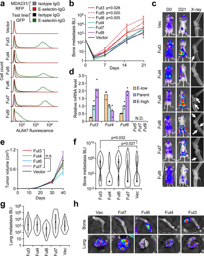 Specific α1–3 Fucosyltransferases (Fut3 and Fut6) promote bone metastasis. (a) Comparative flow cytometry analysis of E-selectin binding to MDA-MB-231 cells with stable ectopic expression of α1–3 Fut enzymes. MDA-MB-231-RFP was used as an internal control. Data representative of four independent experiments. (b) BLI quantification of bone metastasis burden following intracardiac injection of M1a cells stably expressing each Fut enzyme into Nu/Nu mice. n = 6 (Fut3, Fut4, Fut6), 5 (Fut5, Fut9), 3 (Fut7), and 10 (Vector) mice. Statistics by Mann-Whitney U test at Day 21, two-sided. (c) Representative BLI and X-ray images of bone lesions from (b). White arrows indicate osteolytic lesions. (d) qPCR analysis of endogenous α1–3 Fut mRNA levels in the parental and sorted MDA-MB-231 cells with differential E-selectin binding abilities. Fut5/7/9 were not detectable (N.D.) in all cell lines. n = 3 technical replicates. (e) Tumor volume measurements after orthotopic injection of M1a cells stably-expressing each relevant Fut enzyme into NSG mice. p > 0.05 for all between-group comparisons by two-sided Student's t-test at Day 39. n = 6 mice/group. (f,g) Violin plot showing BLI quantification of spontaneous bone (f) and lung (g) metastasis burden. Plot elements include median, box for interquartile range, spikes to upper- and lower- adjacent values. Statistics by Mann Whitney U test, one-sided. n = 11 lung/22 hindlimb (Fut3 and Fut 4), 6 lung/12 hindlimb (Fut 6 and Fut 7), and 12 lung/24 hindlimb (Vector). (h) Representative BLI images of bone and lung tissues from each experimental group. Experiment performed once (e-h). Data represent mean ± SEM. No statistically significant difference (p > 0.05) between Fut4, Fut7, and Fut9 groups vs Vector group in b , Fut 4 and Fut 7 groups vs Vector group in f , and any group vs Vector group in e and g .