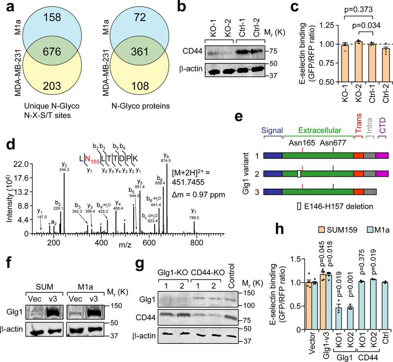 Cell surface N-glycan analysis reveals candidate E-selectin ligands in metastatic breast cancer cells. (a) Summary of mass spectrometry results of N-glycosites and N-glyco proteins using two biological replicates of each cell line collected over independent isolations. (b) Western blot confirming CD44 knockout by CRISPR-Cas9 in the BM2 cell line. Data representative of 3 independent experiments. (c) Comparative flow cytometry analysis of E-selectin binding to CD44-KO and control BM2 cell lines. MDA-MB-231-RFP used as an internal control and binding levels normalized to Ctrl-1. n = 4 independent biological replicates, Student's t-test, two-sided. (d) Representative fragmentation spectra of the doubly-charged Glg1 tryptic peptide LNLTTDPK containing deamidated Asn(N)165 (red). N- and C-terminal (b and y) ions matching the predicted peptide fragment are indicated with their respective mass-to-charge (m/z) values. A complete y ion series was observed, including the site-determining y7 ion, localizing the deamidation to the Asn residue. The measured doubly-charged monoisotopic precursor ion m/z and its mass deviation (Δm) relative to the theoretical m/z are indicated. * interfering m/z from lower abundance co-isolated ion(s). Similar fragmentation spectra were obtained across independent isolations. (e) Schematic diagram of the three major Glg1 splice variants in humans. (f) Western blot analysis of Glg1 expression in SUM159 and M1a cells after stable transduction of retroviral vector expressing Glg1 variant 3. (g) Western blot analysis of Glg1 and CD44 after population-level CRISPR/Cas9 knockout of Glg1 and CD44 in M1a cells. Data representative of three independent experiments ( f , g ). (h) Comparative flow cytometry analysis of E-selectin binding to genetically manipulated SUM159 and M1a cells using SUM159-RFP as an internal control. Binding levels were normalized to respective controls. n = 5 (Glg1 or Vector), n = 3 (KO cell lines) independent biological replicates. Student's t-test, two-sided, compares Glg1v3 cells to Vector cells and CRISPR-KO cells to CRISPR-Control cells. Data represent mean ± SEM. Unprocessed original scans of the blots in b , f , g are shown Supplementary Fig. 9 .