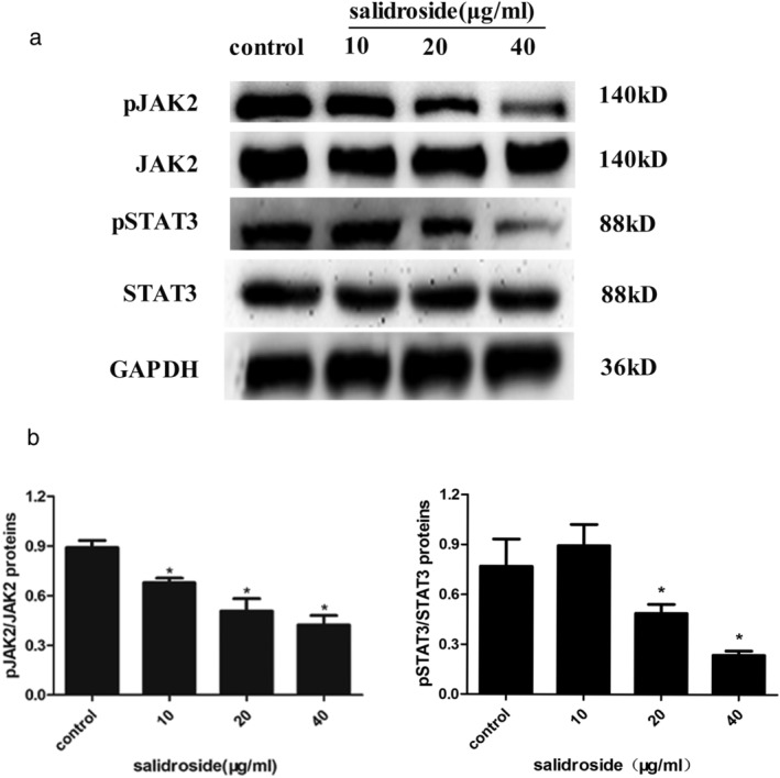 Salidroside inhibited the phosphorylation activation of JAK2 ‐STAT3 signaling pathway. ( a ) The phosphorylation of JAK2 and STAT3 were determined by western blot analysis and represented by the ratio of pJAK2/JAK2 and pSTAT3/STAT3. ( b ) The histogram below shows the results of the quantitative analysis of changes in phosphorylation of JAK2 and STAT3. Data are shown as the mean ± SD of three experiments. * P