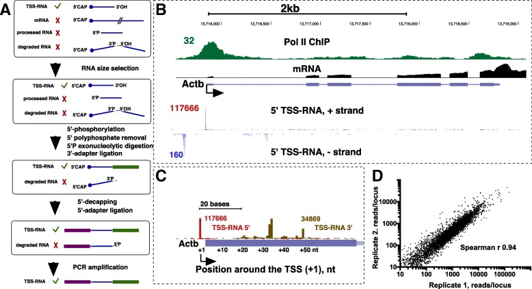 Validation of TSS-RNA sequencing in rat neural precursors. a . A scheme of an updated protocol for the preparation of Start-seq libraries for Illumina sequencing. b . UCSC browser shot of highly expressed Actb gene showing tracks from this study including 5′-tracks for TSS-RNA for each strand (red and blue) and mRNA-sequencing (black), alongside Pol II ChIP-seq (using an antibody against the Pol II N-terminus) track from mature rat neurons [ 10 ] representing a rat Pol II dataset that is most closely related to the current cell type. c . A zoomed-in view of Actb promoter-proximal region showing 5′- (red) and 3′-end (gold) of TSS-RNAs on this gene. The annotated Actb TSS is shown in blue bar and is located 2 bp downstream of the 5′ TSS-RNA peak. d . Correlation plot for promoter-proximal counts between two independent biological Start-Seq replicates. TSS-RNAs on the gene (sense) strand were counted in a +/− 500 bp interval from each RefSeq-annotated TSS