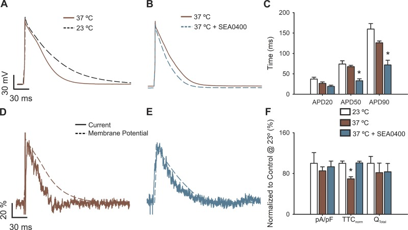 Physiological temperature modifies APs and L-type calcium currents in cardiomyocytes. (A) Representative AP waveforms from newborn rat cardiomyocytes at 23°–25°C (black dashed line) or 35°–37°C (brown line). (B) Representative AP waveforms at 35–37°C before (brown line) and after treatment with 1 µM SEA0400 (light blue line). APs were elicited by 2–5 ms depolarizing current injections (100–200 pA) at 1 Hz. (C) Bar graph of the APD percentage change upon isoproterenol treatment, estimated at 20% (APD 20 ), 50% (APD 50 ), and 90% (APD 90 ) of the repolarization phase. (D and E) Representative nifedipine-sensitive current (solid line) elicited by the AP (dashed line) prerecorded from the same cell at 35–37°C in control cardiomyocytes (D) or treated with 1 µM SEA0400 (E). (F) Bar graph of maximal current normalized by cell capacitance (pA/pF), total time of nifedipine-sensitive current normalized by its APD (TTC norm ), and the total current integral normalized by cell capacitance (Q total ). Data are presented as percentages with respect to control cardiomyocytes at 23–25°C. Bar graphs are mean ± SEM; empty bars represent control cardiomyocytes, brown bars correspond to cardiomyocytes at 35–37°C, and light blue bars correspond to cardiomyocytes at 35–37°C treated with 1 µM SEA0400. *, P