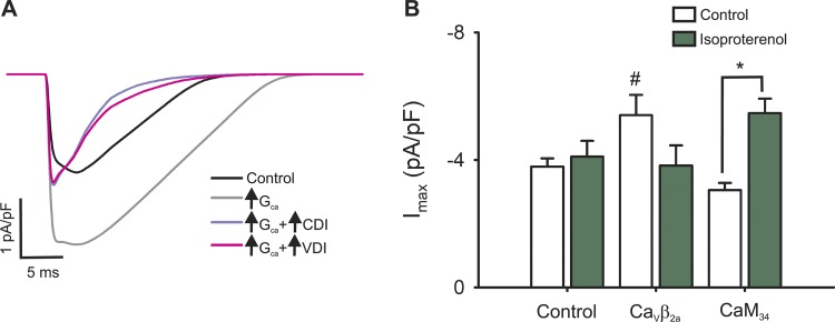 Role of L-type channel inactivation processes during a simulated AP. (A) Simulated L-type calcium current for the control condition (black line) or for cardiomyocytes with increased L-type channel conductance alone (light gray line) or simultaneously with an increased CDI (violet line) or VDI (pink line). (B) Experimental data showing the maximal nifedipine-sensitive current from control, Ca V β 2a , and CaM 34 before (empty bars) or after (green bars) isoproterenol stimulation. #, P