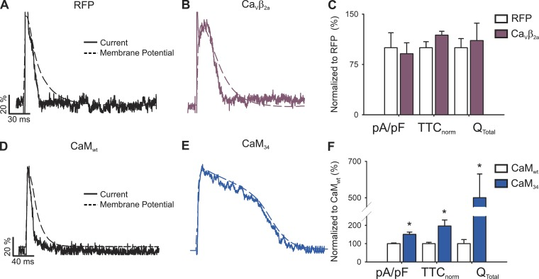 L-type channel inactivation processes upon β-adrenergic stimulus. Representative nifedipine-sensitive current (solid line) elicited by the AP (dashed line) prerecorded from the same cell in a newborn rat cardiomyocyte overexpressing RFP (A), Ca V β 2a (B), CaM wt (D) , or CaM 34 (E). Bar graphs are mean ± SEM ( n = 8) of maximal current normalized by cell capacitance (pA/pF), total time of current normalized by action potential duration (TTC norm ), and the total current integral normalized by cell capacitance (Q total ) from a cardiomyocyte overexpressing RFP (empty bars) and Ca V β 2a (plum bars). CaM wt (empty bars; B) or CaM 34 (blue bars; D). Data are presented as percentages of their respective control situation [RFP for C and CaM wt for F]. *, P