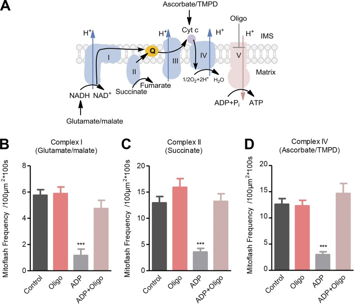 Mitoflash activity mitigates in state III versus state II/IV respiration. (A) Experimental design. In the presence of Complex I, II, or IV substrates, 200 µM ADP was added to switch respiring mitochondria from state II/IV to state III. Oligomycin (Oligo, 5 µM) was used to inhibit ATP synthase. The black arrow shows the electron transfer pathway. (B–D) Effects of ADP and oligomycin on mitoflash frequency supported by Complex I substrate (B), Complex II substrate (C), or Complex IV substrate (D). Data are mean ± SEM, n = 11–18 (B), 12–17 (C), and 13–16 (D) image series from three mice. ***, P