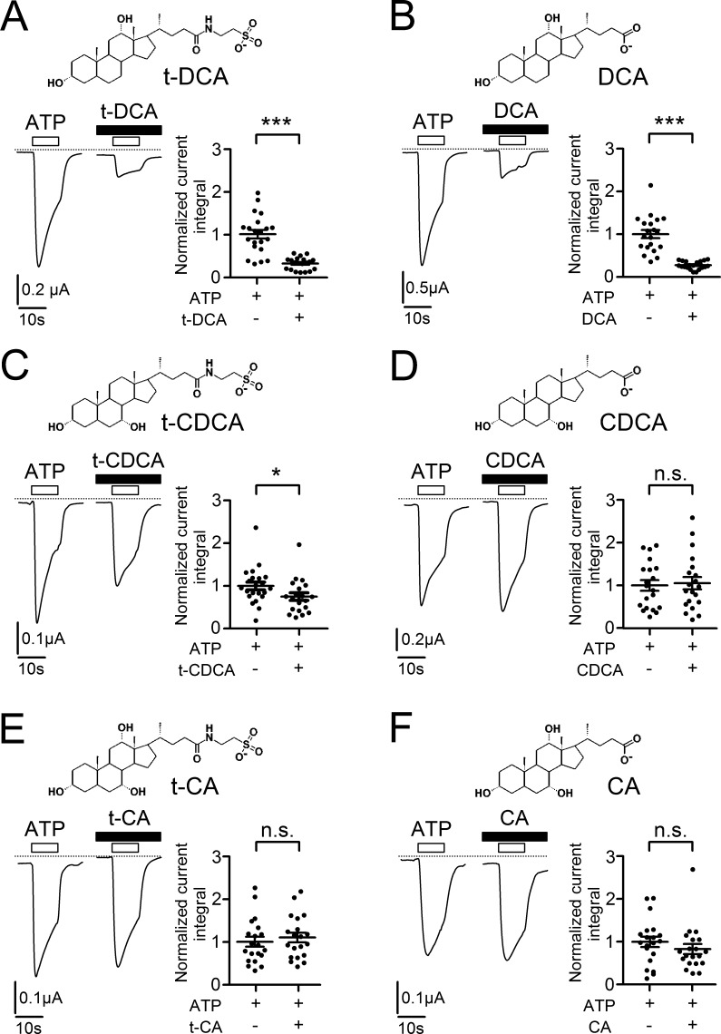 <t>DCA</t> in <t>tauro-conjugated</t> or unconjugated form has the strongest inhibitory effect on P2X4 among the bile acids tested. (A–F) Left panels: Representative whole-cell current traces recorded in human P2X4 expressing oocytes. ATP (10 µM) and bile acids (A: t-DCA; B: DCA; C: t-CDCA; D: CDCA; E: t-CA; F: CA; all in a concentration of 250 µM) were present in the bath solution as indicated by open and filled bars, respectively. Zero current level is indicated by a dotted horizontal line. Right panels: Summary of results from similar experiments as shown in the corresponding left panels. The ATP-activated current integral was calculated in each recording as described in Fig. 1 and normalized to the mean current integral determined in matched control oocytes (i.e., in the absence of bile acids) from the corresponding batch of oocytes (normalized current integral). Mean ± SEM values and individual data points are shown (20 ≤ n ≤ 21; N = 2); *** , *, Significantly different, P
