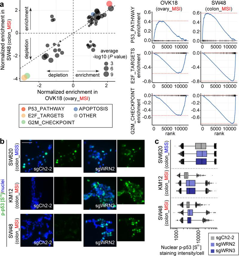 WRN depletion in MSI cells induces cell cycle arrest, apoptosis, and a p53 response. a, GSEA enrichment/depletion scores in WRN-depleted OVK18 cells plotted against WRN-depleted SW48 cells. Signature enrichment plots for Hallmark gene sets shown for WRN-depleted OVK18 and SW48 cells. n = 2 biological replicates. b, phospho-p53 (S15) immunofluorescence (IF) following sgRNA transduction (50 µm scale bar). c, Nuclear phospho-p53 (S15) staining intensity per cell. Lower error bar, box lower limit, bar, box upper limit, upper error bar, dots: 1st, 25th percentiles, median, 75th, 99th percentiles, outliers, respectively. Mean log intensity change following WRN knockout compared to control sgRNA in MSI versus MSS cells; P