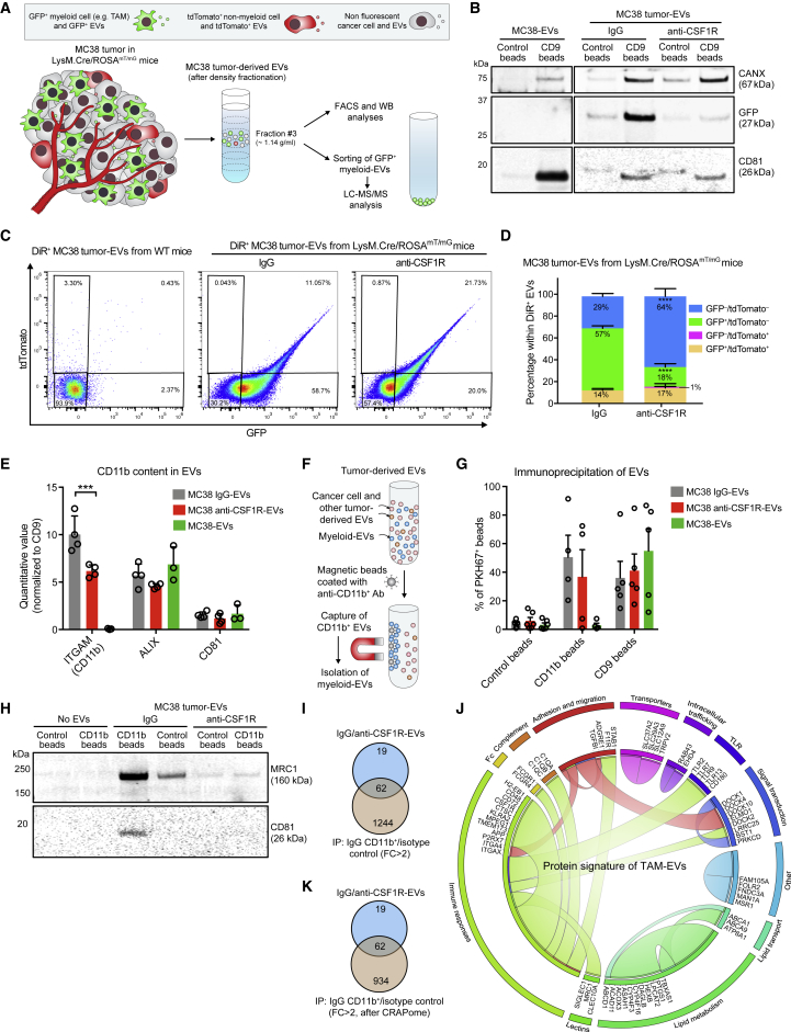 Quantification of TAM-EVs and Validation of the TAM-EV Protein Signature by IP of CD11b + Tumor-Derived EVs (A) Procedure to isolate EVs from MC38 tumors grown in LysM.Cre/ROSA mT/mG mice. (B) WB analysis of EVs isolated from cultured MC38 cells or MC38 tumors grown in LysM.Cre/ROSA mT/mG mice, after IP with anti-CD9 or control-coated magnetic beads. One representative EV preparation per condition is shown. (C and D) Flow cytometry analysis of tumor-EVs isolated from wild-type (WT) or LysM.Cre/ROSA mT/mG mice. Data show representative dot plots of GFP and tdTomato (C) and quantitative values (mean ± SD; n = 3 independent experiments; D). Statistics by two-way ANOVA, using Sidak's multiple comparison test. (E) LC-MS/MS analysis of EVs showing quantitative values (mean ± SEM; n = 4 or 3 independent preparations) for CD11b, ALIX, and CD81, normalized to CD9. Statistics by two-way ANOVA, using Tukey's multiple comparison test. (F) IP procedure for capturing CD11b + EVs. (G) Flow cytometry analysis of PKH67-labeled EVs bound to anti-CD9, anti-CD11b or isotype-control beads. Data show percentage values (mean ± SEM; n = 4 and 5 preparations for CD11b and CD9 IP, respectively). (H) WB analysis of tumor-derived EVs after IP. One representative EV preparation per condition is shown. (I) Venn diagrams comparing proteins enriched in IgG-EVs versus anti-CSF1R-EVs (FC > 1.7; see Table S2 ) with those detected in CD11b + IgG-EVs after IP (FC versus isotype control beads > 2; see Table S4 ). IP was performed on the same IgG-EV preparation shown in (H). (J) Radial table reporting the 62 proteins of the MC38 TAM-EV signature and their association with biological pathways. The graphical representation limits connection of each protein to two pathways (see also Table S5 ). (K) The data in (I) are shown after removing potential protein contaminants identified according to the CRAPome database. See also Figures S3 , S4 , S5 , and S6 .