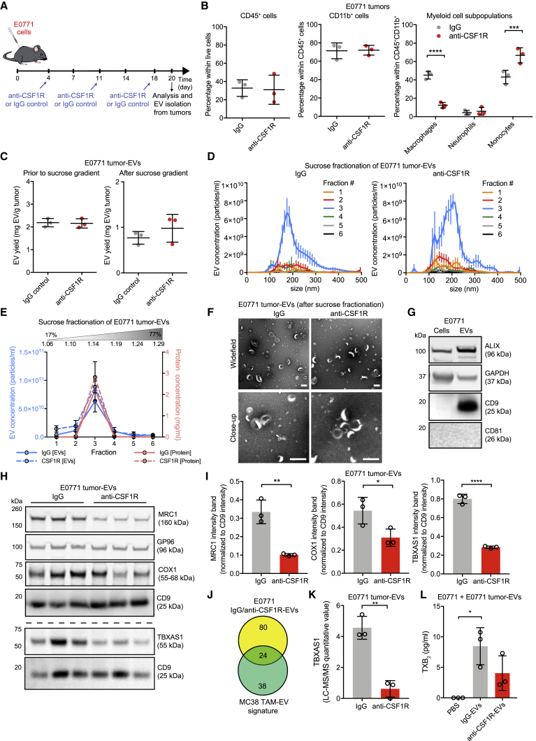 Molecular and Functional Analysis of E0771 TAM-EVs (A) Schedule of subcutaneous E0771 cancer cell inoculation in C57BL/6 mice and drug administration. (B) Flow cytometry analysis of immune infiltrates in E0771 tumors. Data show percentage values (mean ± SD; n = 3 mice/condition). Statistics by unpaired two-tailed Student's t test (left and middle) or two-way ANOVA, using Sidak's multiple comparison test (right). (C) Yield of EVs recovered from E0771 tumors prior to and after sucrose gradient fractionation, determined by BCA (mean ± SD; n = 3 EV preparations/condition). Statistics by unpaired two-tailed Student's t test. (D) EV concentration and size distribution by NTA in the 6 sucrose fractions (mean ± SEM; n = 3 EV preparations/condition). (E) EV protein content and EV concentration in each sucrose fraction determined by BCA and NTA, respectively (mean ± SD; n = 3 EV preparations/condition). (F) Representative TEM images of EVs. One representative EV preparation per condition is shown. Scale bars, 200 nm. (G) WB analysis of cultured E0771 cells and matched EVs. One representative EV preparation is shown. (H and I) WB analysis of E0771 tumor-EVs (H). Relative signal quantification of MRC1, COX1, and TBXAS1 is shown in (I) as mean band intensity normalized to CD9 (n = 3 EV preparations/condition). Statistics as in (C). (J) Venn diagrams comparing proteins enriched in IgG-EVs versus anti-CSF1R-EVs from E0771 tumors (FC > 1.7; see Table S7 ) with those of the MC38 TAM-EV signature (see Table S5 ). (K) LC-MS/MS analysis of TBXAS1 in E0771 tumor-EVs (mean ± SD; n = 3 EV preparations/condition). Statistics as in (C). (L) ELISA-based quantification of TXB 2 in medium conditioned by E0771 cells (mean ± SD; n = 3 EV preparations/condition). Statistics by one-way ANOVA, using Tukey's multiple comparison test.