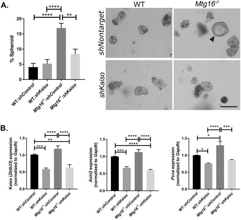 Kaiso loss decreases stemness and WNT tone in WT and Mtg16 −/− enteroids. A, A nontargeted or Kaiso-targeted shRNA was transduced into enteroids established from WT and Mtg16 −/− mice. Spheroid morphology was assessed at one day post passage and normalized to total enteroid number (left). Representative images (right) show spheroid morphology marked by arrowhead. n=4 wells/genotype per 2 independently infected enteroid lines. Scale bar = 200μM. B, Control and knockdown enteroid lines were collected for RNA and analyzed for Kaiso (left), Axin2 (middle), and Pcna (right) expression by qRT-PCR analysis. n= 2 independently infected enteroid lines, samples run in triplicate. * P