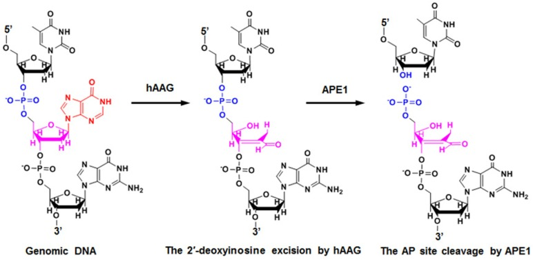 Mechanism of hAAG-catalyzed base-excision repair. The hAAG can remove the damaged 2′-deoxyinosine (red color) to produce an AP site. The AP site will subsequently be cleaved by APE1 to generate the 5′-dRP and 3′-OH termini.