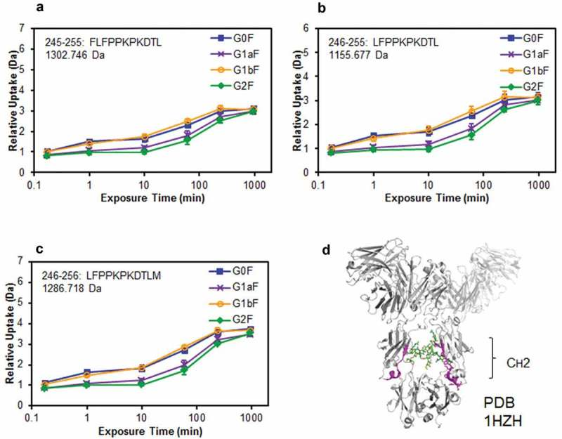 Comparison of structural stabilities of the CH2 domain of glycoengineered anti-CD20 mAbs using HDX/MS . Deuterium uptake plots of peptides Phe245–Leu255 (FLFPPKPKDTL) (a), Leu246–Leu255 (LFPPKPKDTL) (b), and Leu246–Met256 (LFPPKPKDTLM) (c) in the H-chain. (d) Physical representations of the crystal structures (PDB 1HZH) of peptides at Phe245–Met256 (magenta ribbons).