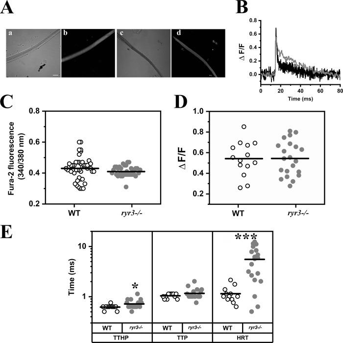 Calcium homeostasis in isolated EOM fibers. (A) Confocal images of WT (a and b) and ryr3 −/− (c and d) fibers; a and c show the transmitted light channel, and b and d show Mag-Fluo4 fluorescence, excited at 488 nm and recorded at an emission between 500 and 550 nm. Scale bar, 30 µm. (B) Representative line scan traces of MagFluo4 calcium transients in EOM fibers from WT (black) and ryr3 −/− (gray), recorded at 7,921 lines per second. (C) Measurements of resting Ca 2+ expressed as ratio (340/380 nm) using the fluorescent indicator fura-2. Each symbol represents the ratio obtained from a single fiber. The horizontal black line shows the mean value. Fibers were isolated from a total of three mice per group, and a total of 49 fibers from WT and 40 fibers from ryr3 −/− were analyzed. (D) Peak Ca 2+ (ΔF/F) of the MagFluo4 fluorescence obtained by stimulating EOM fibers by electrical field stimulation with a 0.5-ms bipolar pulse. All experiments were performed at room temperature. Each symbol represents the value from a single fiber. The horizontal black line shows the mean value. A total of 14 fibers from four WT mice and 21 fibers from nine ryr3 −/− mice were analyzed. (E) Analysis of the kinetics of the Ca 2+ transients; TTHP, TTP, and HRT of the calcium transients are plotted. White dots, WT; gray dots, ryr3 −/− . A total of 12 fibers from four WT mice and 19 fibers from nine ryr3 −/− mice were analyzed. *, P