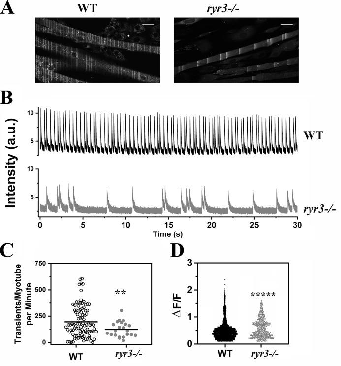 <t>ryr3</t> −/− EOM-derived myotubes show fewer calcium waves than WT EOM-derived myotubes. (A) WT (left) and ryr3 −/− (right) confocal image of myotubes loaded with Fluo-4. Spontaneous calcium waves can be seen as lines during image acquisition. Scale bars, 30 µm. (B) Representative Fluo-4 line scan traces of WT (top, black line) and ryr3 −/− (bottom, gray line) myotubes. a.u., arbitrary units. (C) Analysis of the frequency of the spontaneous Ca 2+ transient. Each point represents the number of transients per minute recorded in a single myotube. Each myotube was recorded for 30 s, and the frequency output is given as frequency per minute. Experiments were performed at room temperature. The horizontal black line represents the mean value. Empty circles, WT ( n = 95); gray circles, ryr3 −/− ( n = 22). (D) ΔF/F of the Fluo-4 transients. The number of transients analyzed was n = 9,319 and n = 1,368 for WT and ryr3 −/− , respectively. **, P