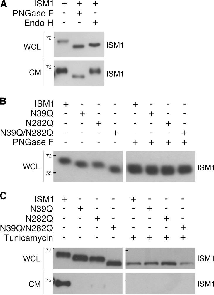 Mouse ISM1 is a secreted soluble protein that is glycosylated at asparagine residues 39 and 282. (A) Western blot of ISM1 in WCL and CM samples of HEK293T cells transiently transfected with mouse ISM1 and digested with <t>PNGase</t> F or Endo H as indicated. ISM1 protein is detected as a band of ∼70 kD in both WCL and CM without digestion. (B) HEK293T cells were transiently transfected with ISM1 or its N39Q, N282Q, and N39Q/N282Q point mutated forms. WCL samples were digested with or without PNGase F and subjected to Western blotting to detect ISM1. The size of intracellular ISM1 shifted from 70 kD to ∼65 and 60 kD following single or combined N point mutations, respectively. (C) Western blot of ISM1 in WCL and CM samples of HEK293T cells transiently transfected with wild-type ISM1 or its N39Q, N282Q, and N39Q/N282Q point mutated forms, in the presence or absence of 1 ng/ml tunicamycin. The protein molecular weight markers in kilodaltons are indicated by numbers on the left side of the Western blots.