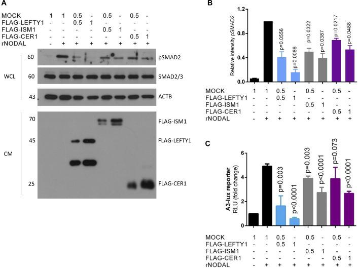 The inhibitory effects of ISM1, LEFTY1, and CER1 on NODAL signaling. (A) Serum-starved HEK293T-CRIPTO cells treated with 100 ng/ml rNODAL in the presence of mock, LEFTY1, ISM1, or CER1 CM at indicated dilutions. WCL samples were subjected to Western blotting analyses for pSMAD2. Total SMAD2/3 and β-actin were used as internal controls. The protein levels of LEFTY1, ISM1, and CER1 representing their relative concentrations in the CMs were analyzed by Western blotting using Flag antibodies. (B) Quantification of the intensity of pSMAD2 relative to SMAD2/3 in three biological replicates. Data represent mean ± SEM. The unpaired, two-tailed t test was used for statistical analyses. Statistically significant P values are indicated. (C) Dual luciferase reporter assay to determine the SMAD2/FOXH1 transcriptional activity in HEK293T-CRIPTO cells treated by 100 ng/ml rNODAL for 24 h, together with CM of mock, FLAG-LEFTY1, FLAG-ISM1, or FLAG-CER1 at the indicated dilutions. Data represent mean ± SEM of four independent experiments. P values of statistical analyses using unpaired, two-tailed t test are indicated in each individual experimental group.