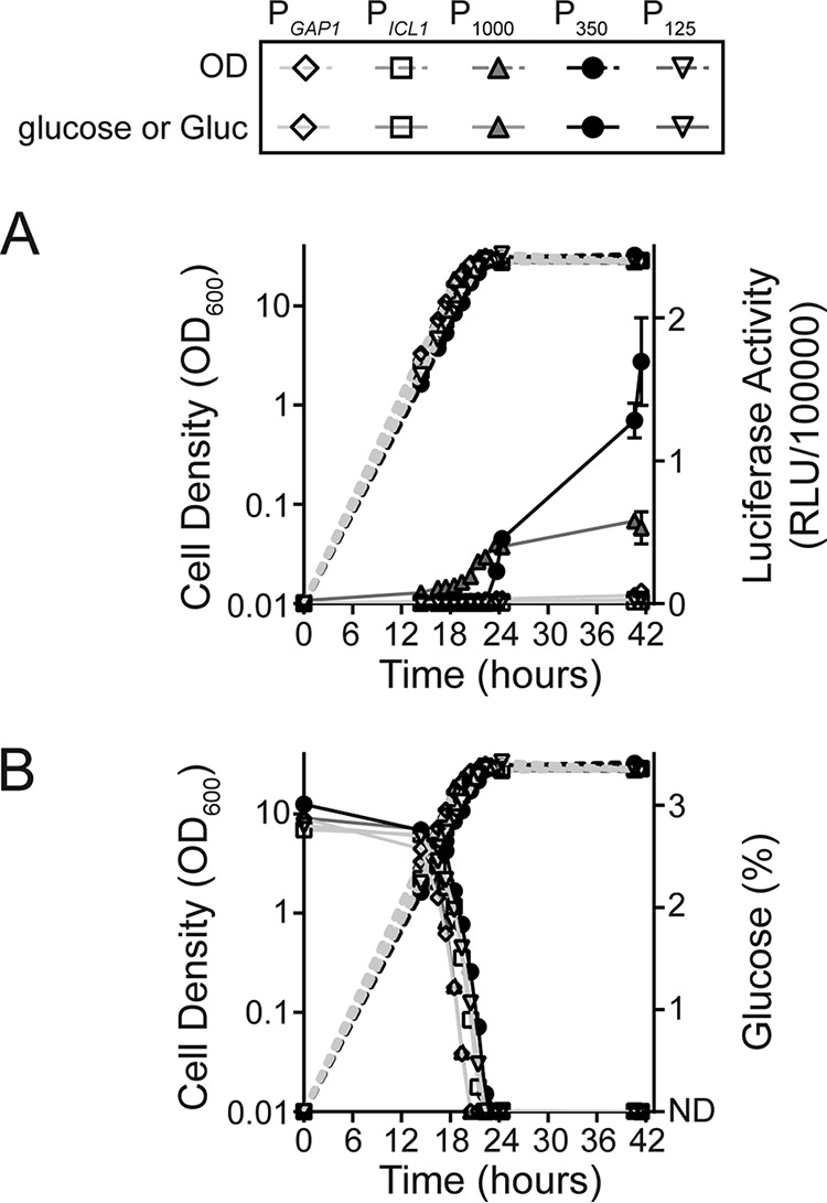 Gluc expression and glucose consumption during culturing of strains containing hybrid promoter-Gluc constructs. K. lactis GG799 cells harboring P GAP1 -Gluc, P ICL1 -Gluc, P 1000 -Gluc, P 350 -Gluc, and P 125 -Gluc expression constructs were grown in YDFM containing glucose in bioreactors. Shown are (A) luciferase activity (RLU/100,000) and cell growth (OD 600 ) relative to hours of culturing, and (B) glucose consumption (%) and cell growth (OD 600 ) relative to hours of culturing. P 1000 -Gluc showed constitutive Gluc expression higher than that of P ICL1 -Gluc or P GAP1 -Gluc. P 350 -Gluc showed Gluc expression only after glucose had been consumed from the culture medium. No Gluc expression was observed with P 125 -Gluc. ND represents the glucose detection limit (