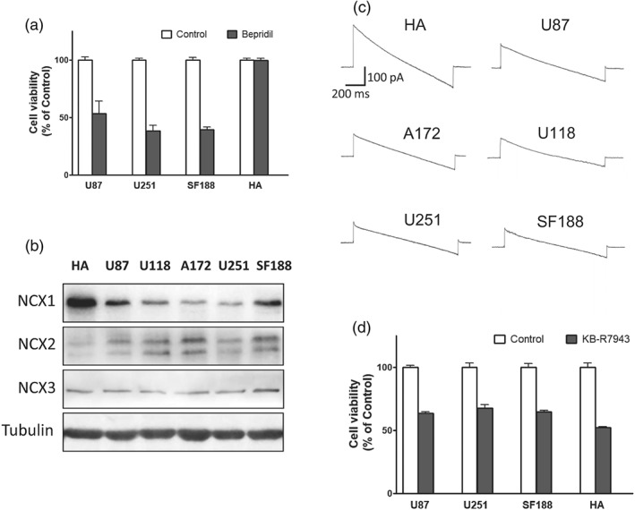 Impact of bepridil on human astrocytes (HA) and the Na + /Ca 2+ exchanger (NCX) isoforms in each cell line. (a) Viability of U87, U251, and SF188 cells and HA after exposure to bepridil (25 μM, 48 hr); n = 5 independent tests in each group. (b) The bands of NCX1, NCX2, and NCX3 isoforms detected by Western blot analysis in the sample of HA and glioblastoma cell lines U87, U118, A172, U251, and SF188. (c) Representative recording of the NCX currents in HA and glioblastoma cell lines. (d) Viability of U87, U251, and SF188 cells and HA after exposure to KB‐R7943 (25 μM, 48 hr). n = 5 independent tests in each group