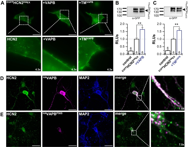 VAPB determines surface expression and dendritic localization of HCN2. A ) Live cell imaging of HeLa cells transfected with an N-terminally EGFP-tagged HCN2 carrying an extracellular HA-epitope ( EGFP HCN2 HA Ex ) alone or cotransfected with VAPB or the TM segment of VAPB (TM VAPB ). B ) Chemiluminescence assays of fixed non-permeabilized HeLa cells, analyzing the surface expression as relative light units (RLUs) for EGFP HCN2 HA Ex alone and after cotransfection with VAPB (1.6 ± 0.1). Upper inset illustrates a representative control Western blot showing an unaltered HCN2 prote in expression. C ) Chemiluminescence surface expression assay as in B , but using TM VAPB (1.6 ± 0.1). D ) Immunocytochemistry of HA VAPB transfected cortical neurons. Endogenous HCN2 (green) is colocalizing (white) with HA VAPB (magenta) in the soma and dendrites. Anti–MAP2-staining illustrating an intact neuronal network and dendrites (blue). E ) Immunocytochemistry experiment as in D , but transfecting the ALS8 mutation HA VAPB P56S (magenta), leading to an aggregation of VAPB P56S in the soma of the neurons. Also, HCN2 fluorescence (green) was focused in the soma and dendritic localization was lost, despite an intact neuronal network (α-MAP2, blue). Scale bars, 20 µm ( A , D , E ). All data are presented as means ± sem . The number of experiments ( n ) is indicated in the respective bar graphs. ** P
