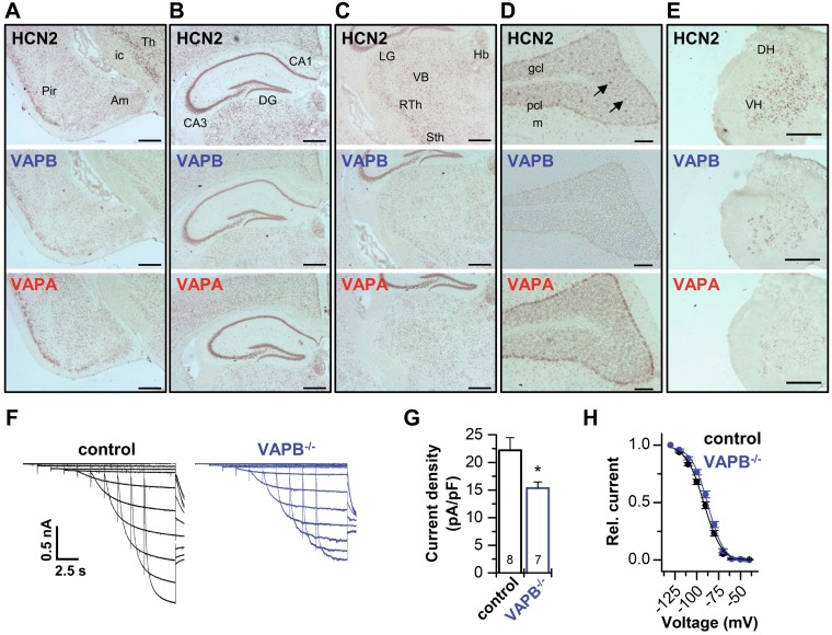 Codistribution of VAPs with HCN2 and contribution to thalamic I h . A – E ), Distribution of HCN2, VAPB, and VAPA mRNA in mouse brain and spinal cord. ISH analysis of HCN2, VAPB, and VAPA using DIG-labeled riboprobes, revealing mRNA expression of VAPB in cortical areas ( A ), hippocampus ( B ), thalamus ( C ), cerebellum ( D ) (arrows point to interneurons in the granular layer), and spinal cord ( E ). Note the overlapping distribution of VAPB with HCN2 and VAPA mRNA. Am, amygdala; CA, cornu ammonis; DG, dentate gyrus; DH, dorsal horn; gcl, granule cell layer; Hb, habenulae; ic, internal capsule; LG, lateral geniculate ncl.; m, molecular cell layer; pcl, Purkinje cell layer; RTh, reticular thalamic ncl.; Sth, subthalamic ncl.; VB, ventrobasal thalamus; Th, thalamus; VH, ventral horn. F ) Representative current traces elicited in slice patch-clamp experiments of the ventrobasal thalamus (VB) of wild-type animals (control) and VAPB −/− mice. G ) The I h current was significantly reduced in VAPB −/− mice (15.4 ± 1.1 pA/pF) compared with control animals (22.2 ± 2.3 pA/pF). H ) Average activation curves of the VB I h current for control and VAPB −/− mice. V 1/2 of activation for control (−91.6 ± 1.3 mV, n = 8) and VAPB −/− (−87.5 ± 1.2 mV, n = 7). Scale bars: 500 µm ( A–C , E ), 100 µm ( D ). All data are presented as means ± sem . The number of experiments ( n ) is indicated in the respective bar graphs. * P