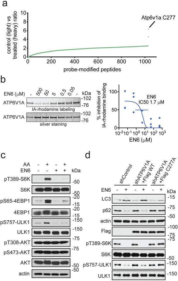 Target identification and validation of EN6. (a) isoTOP-ABPP analysis of EN6 in MEF cells in situ . MEF cells were pre-treated with DMSO or EN6 (50 μM, 4 h in situ ) prior to labeling of proteomes in vitro with IA-alkyne (100 μM, 1 h), followed by appendage of isotopically light (for DMSO-treated) or heavy (for EN6-treated) TEV protease cleavable biotin-azide tags by copper-catalyzed azide-alkyne cycloaddition (CuAAC), followed by the isoTOP-ABPP procedure. Shown are average light/heavy ratios for n=3 biologically independent samples/group. More detailed data and individual replicate ratios can be found in Supplementary Dataset 2 . (b) Gel-based ABPP analysis of EN6 interactions with recombinant ATP6V1A. Vehicle DMSO or EN6 were pre-incubated with recombinant human ATP6V1A (1 h) followed by labeling with a rhodamine-functionalized iodoacetamide probe (IA-rhodamine) (1 μM, 1 h) after which probe-labeled proteins were read-out by SDS/PAGE and in-gel fluorescence. Data were quantified by densitometry using Image J. Original gel images can be found in Supplementary Fig. 8a . (c) mTORC1 signaling with EN6 treatment in HEK293A cells. HEK293A cells, starved or stimulated with amino acids, were treated with vehicle DMSO or EN6 (25 μM) for 1 h and mTORC1 signaling was assessed by Western blotting. Original gel images are in Supplementary Fig. 7b . (d) Autophagy markers (LC3 and p62) and mTORC1 signaling in Hela cells treated with EN6. Endogenous ATP6V1A was knocked down with shRNA and replaced with a Flag-tagged wild-type or C277A mutant ATP6V1A and these cells were treated with EN6 (25 μM) for 4 h. Original gel images can be found in Supplementary Fig. 8b . Validation of ATP6V1A knockdown can be found in Supplementary Fig. 2e . Data shown in (b) are average ± sem from n=3 biologically independent samples/group. Gels shown in (b, c, d) are representative gels from n=3 biologically independent samples/group.
