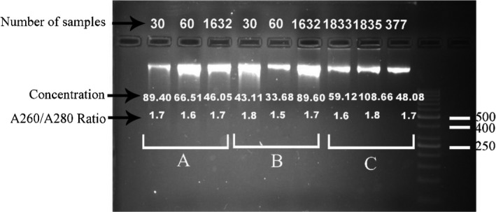 Comparison of genomic DNA purified from clotted blood by each extraction method on 2% agarose gel. Stained with DNA Green Viewer™. A: modified salting‐out method, B: modified QIAamp ® DNA Blood Midi Kit, C: QIAamp ® DNA Blood Midi Kit. Lane 11:50‐bp DNA ladder (Fermentas)