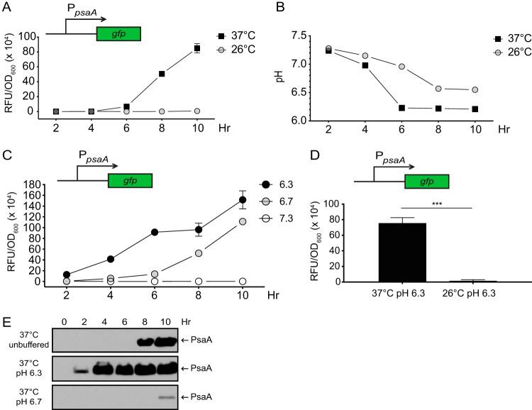 Expression of a psaA transcriptional reporter and production of PsaA require high temperature and low pH. WT Y. pestis (YP6) carrying a psaA transcriptional reporter (pEW102, psaA-gfp ) was grown at 26°C and 37°C, and psaA transcription (A, C, and D), medium pH (B), and PsaA (E) were analyzed as described in Materials and Methods. (A and B) psaA expression (A) and growth medium pH (B) were determined following growth at 26°C and 37°C in unbuffered BHI broth over time. (C) WT carrying psaA-gfp was grown at 37°C in BHI broth buffered to pH 6.3, 6.7, and 7.3, and reporter expression was determined. (D) WT carrying psaA-gfp was grown for 8 h at 37°C and 26°C in buffered BHI broth, and reporter expression was determined. Each bar represents the mean RFU/OD 600 , and error bars represent standard deviations. For reporter experiments, each sample was assayed in biological triplicates. ***, P