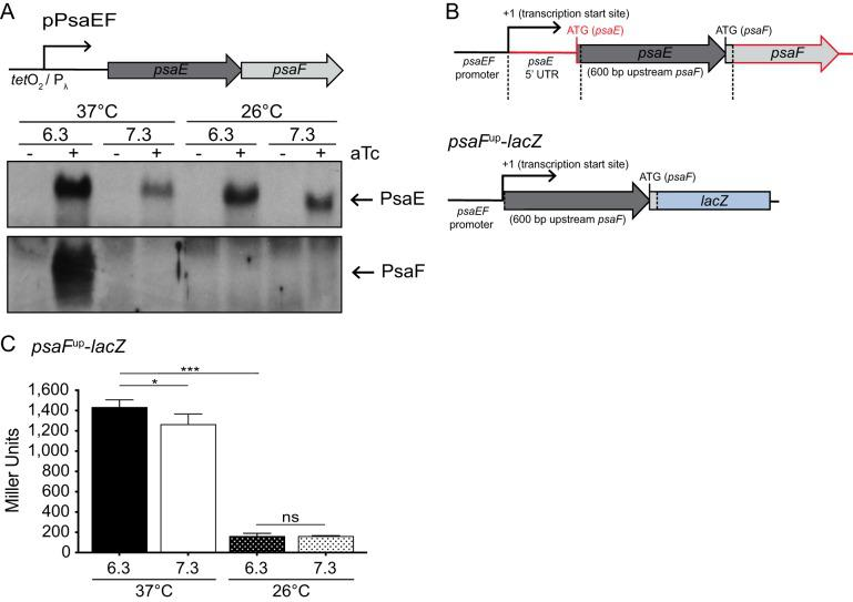 psaF translation requires high temperature and is regulated independently of the psaE 5′ UTR. The psaEF coding sequence was cloned into a tet -inducible expression vector (pPsaEF). (A) The Δ psaEF mutant carrying pPsaEF was grown at 37°C and 26°C in buffered BHI broth in the presence or absence of 50 ng/ml ATc, and whole-cell lysates were prepared and used to analyze PsaE and PsaF via Western blotting, as indicated in Materials and Methods. P λ , phage lambda promoter. (B) Diagram of sequence used to construct the psaF translational reporter (pJQ043, psaF up - lacZ ); the psaEF promoter was ligated directly to sequences upstream of psaF . The fragments outlined in red were excluded from the reporter. (C) The psaF up - lacZ reporter was introduced at the Tn 7 site in the Y. pestis Δ lacZ mutant (YPA87), and this strain was grown at 37°C or 26°C in buffered BHI broth. β-Galactosidase activity was analyzed as indicated in Materials and Methods. Bar graphs represent mean values of Miller units, and error bars represent standard deviations. ***, P