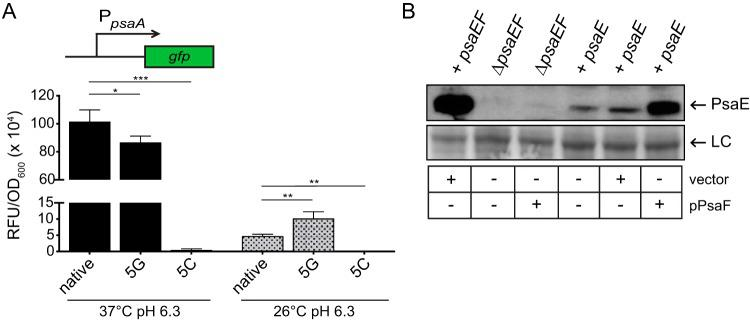 Expression of psaA and enhanced PsaE stability correspond with PsaF. (A) The psaA-gfp reporter was introduced into derivatives of the Δ psaEF mutant expressing psaEF from the psaE native 5′ UTR (YPA260, native), the psaE 5G 5′ UTR (YPA361, 5G), and the psaE 5C 5′ UTR (YPA360, 5C); these strains were grown at 37°C and 26°C in pH 6.3 buffered BHI broth, and reporter expression was determined as described in Materials and Methods. Each bar represents the mean RFU/OD 600 , and error bars represent standard deviations. Each sample was assayed in biological triplicate. ***, P