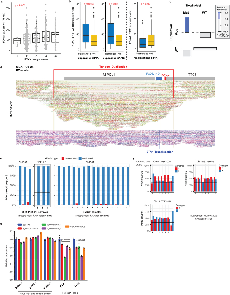 Transcriptional and genomic characteristics of Class3 FOXA1 rearrangements in prostate cancer. a) Dosage sensitivity of the FOXA1 gene. Expression of FOXA1 (RNA-seq) across mCRPC tumors (n=370) as a function of gene ploidy (as determined by absolute copy number at the FOXA1 locus (two-way ANOVA). b) Relative expression of FOXA1 (within the minimally amplified region) to TTC6 (outside the amplified region) in rearranged (n=50) (duplication or translocation) vs WT (n=320) FOXA1 loci (two-sided t-test). All boxplot center shows median, box marks Q1/Q3, whiskers span Q1/Q3±1.5xIQR. c) Association plot visualizing the relative enrichment of cases with both translocation and duplications within the FOXA1 locus (n=370). Over-abundance of cases with both events is quantified using Pearson-residuals. Significance of this association is based on the Chi-square test without continuity correction. Tloc, translocation; inv, inversion; del, deletion. d) FOXA1 locus visualization of linked-read (10X platform) whole genome-sequencing of the MDA-PCA-2B cell line. Alignments on the haplotype-resolved genome are shown in green and purple. Translocation and tandem-duplication calls are indicated in blue and red, respectively. e) Monoallelic expression of FOXA1 cell-lines with FOXMIND-ETV1 translocations in MDA-PCA-2b (n=6 biological replicates) and LNCaP (n=15 biological replicates). Phasing of FOXA1 SNPs to structural variants is based on linked-read sequencing (Methods). f) Biallelic expression of RNA from the FOXMIND locus assessed using three distinct SNPs in MDA-PCa-2b cells that harbor ETV1 translocation into the FOXA1 locus (n=7 biological replicates). g) mRNA (qPCR) expression of ETV1 and TTC6 upon sgRNA-mediated disruption of the FOXMIND or the MIPOL1-UTR enhancer in LNCaP cells, which also harbor ETV1 translocation into the FOXA1 locus (see Extended Data Fig. 9d for sgRNA binding sites). Distinct sgRNA pairs cutting at FOXMIND serve as biological replicates. Mean ± s.e.m are 