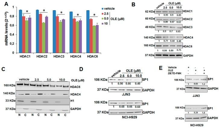 Oleacein targets HDACs. QRT-PCR ( A ) and WB analysis ( B ) of HDAC1, HDAC2, HDAC3, HDAC4, HDAC6 in JJN3 cells treated with oleacein for 24 h; GAPDH was used as loading control. ( C ) WB analysis of HDAC4 and HDAC6 in nuclear (N) and cytoplasmic (C) protein fractions from JJN3 cells treated for 24 h with oleacein; histone H1 and GAPDH were used as nuclear and cytoplasmic marker, respectively. ( D ) WB analysis of Sp1 in JJN3 cells treated with oleacein for 24 h. ( E ) WB analysis of Sp1 in JJN3 cells treated with 5.0 µM oleacein with or without 20.0 µM Z-ITED-FMK; GAPDH was used as loading control. * p