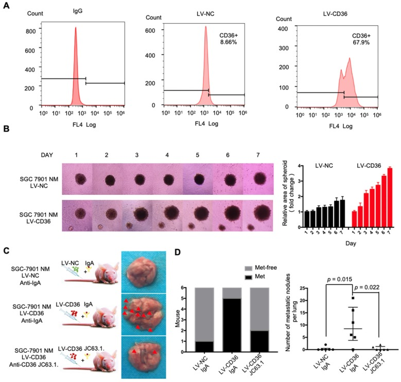 """Upregulation of CD36 in GC cell promotes cell metastasis. (A) Flow cytometry analysis showing the expression of CD36 in SGC 7901-NM cells transfected with a lentiviral vector encoding CD36 or negative control vector. K isotype IgG was used as a negative control. (B)3D spheroid BME cell invasion assay of SGC 7901-NM cells transfected with lentiviral vector encoding CD36 (LV-CD36) or with negative control vector (LV-NC). Photographs of all the spheroids in each well every 24 h for 7 days using a 4× objective. Quantitative analysis of the surface area of all spheroids. Normalized areas for all the spheroids are presented relative to the area on the first day. All of the areas were calculated three times using ImageJ, and the values represent the means ± SD. (C) The indicated cells were injected into nude mice (n = 6 for each group) via the tail vein along with weekly intraperitoneal injections of 20 μg of the anti-CD36 neutralizing monoclonal antibody JC63.1 or 20 μg of the corresponding IgA. Animals were sacrificed at 8 weeks after the injections. Photos of representative lung tissue samples in each group are shown. (D) Left: The histogram shows the proportion of mice with lung metastasis in each group. """"Met"""" is short for """"metastasis,"""" and """"Met-free"""" indicates """"metastasis-free."""" Right: Mann Whitney test was used to evaluate the number of metastatic nodes in the lungs of mice from each group."""