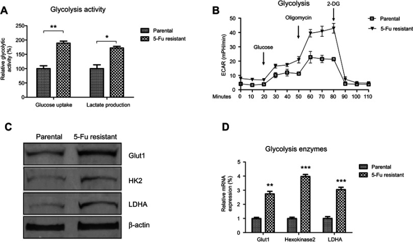 Elevated cellular glycolysis in 5-Fu-resistant cervical cancer cells. ( A ) Glucose uptake and lactate production were compared in CaSki parental- and 5-Fu-resistant cells. ( B ) Real-time comparison of extracellular acidification rate (ECAR) between CaSki parental- and 5-Fu-resistant cells. ( C ) Protein or ( D ) mRNA expressions of glycolysis enzymes, Glut1, HK2, and LDHA from CaSki parental- and 5-Fu-resistant cells were measured by Western blot or qRT-PCR. β-actin was a loading control. Results are shown as mean±SEM. * p
