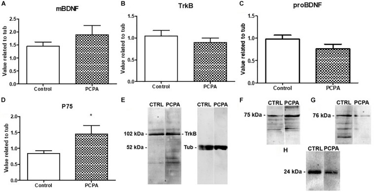 Protein expression of molecules from the BDNF signaling pathway determined by Western Blot and representative membranes. (A) mBDNF. (B) TrkB. (C) proBDNF. (D) p75 in hyposerotonergic (PCPA-treated) or control (vehicle-treated) mice for 4 weeks. (E–H) Representative membrane showing signal for TrkB, p75, pro-BDNF, and mBDNF in Control and PCPA-treatd mice. Data are expressed as mean ± S.E.M., n = 11 (control) and 12 (PCPA). ∗ p