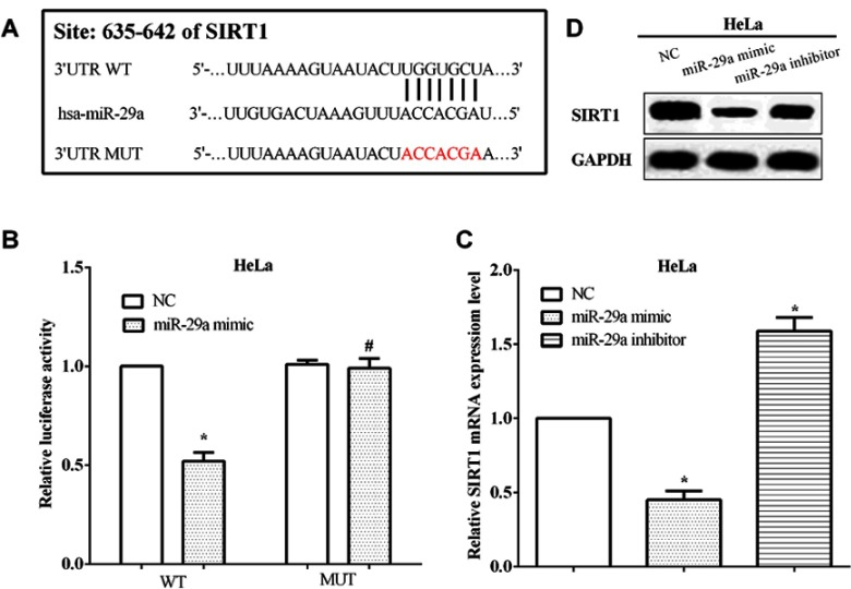 miR-29a regulated the expression of SIRT1 through directly binding to the 3'-UTR of its mRNA. ( A ) TargetScan predicts SIRT1 was a potential target gene of miR-29a. ( B ) The miR-29a mimic inhibited the luciferase activity of cells that transfected wild-type SIRT1 3'-UTR. ( C ) The mRNA level of SIRT1 was inhibited by the miR-29a mimic, while that was enhanced by the miR-29a inhibitor in HeLa cells. ( D ) The protein level of SIRT1 was regulated by miR-29a in HeLa cells. *Compared with NC, P
