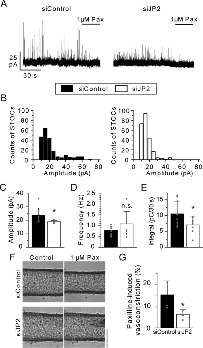 JP2 facilitates the efficiency of STOCs in mMASMCs. A, STOCs were recorded in siControl and siJP2-treated myocytes at a holding potential of −20 mV. STOCs were completely blocked by 1 μ m paxilline ( Pax ). B, distribution histogram of STOC events versus their peak amplitude. C–E, summary of the mean STOC amplitude, frequency and integral for 30 s in myocytes treated with siControl (9 cells from 6 mice) or siJP2 (8 cells from 7 mice). F, images of vasocontractions caused by 1 μ m Pax. The averaged diameter (μm) for: siControl, 125.7 ± 9.2 (Control) and 116.8 ± 10.0 (1 μ m Pax); siJP2, 133.5 ± 14.6 (Control) and 130.5 ± 13.1 (1 μ m Pax). G, summarized data of 1 μ m Pax-induced decreases in the diameter of mesenteric arteries treated with siControl ( n = 4 from 3 mice) and siJP2 ( n = 4 from 3 mice). *, p