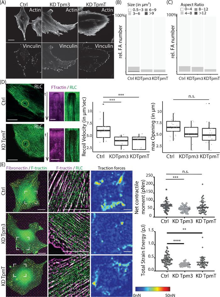 Focal adhesion characteristics and force measurements in REF52 cells depleted for tropomyosin. (A) F-actin stained with phalloidin and focal adhesions labeled with vinculin antibody in cells transfected with nontargeting siRNA (Ctrl), tropomyosin-3 siRNA (Tpm3), and siRNA against all tropmyosins (TpmT). Scale bar is 20 µm. (B) Distribution of focal adhesions size. (C) Distribution of focal adhesion aspect ratio. Images analyzed: n = 14 (Ctrl), n = 26 (KD Tpm3), and n = 20 (KD TpmT). The images were acquired on a W1 spinning-disk microscope. (D) Representative images of myosin regulator light chain (RLC-GFP) at time point of laser ablation are shown in green for Ctrl and TpmT KD cells. Scale bar is 20 µm. Associated kymographs of F-Tractin-tdTomato (magenta) and RLC-GFP (green) along a line drawn crossing the gap are displayed in the next row. Scale bar is 5 µm. Recoil velocity and maximum opening are characterized. The differences between groups are shown in the graph. The number of images quantified for opening: n = 26 (Ctrl), n = 10 (KD Tpm3), and n = 20 (KD TpmT). The number of movies quantified for recoil velocity: n = 15 (Ctrl), n = 8 (KD Tpm3), and n = 9 (KD TpmT). The images were obtained on a Nikon A1R confocal microscope. (E) Traction forces of cells. Left, merge representative images of fibronectin-Atto-647N (magenta), F-tractin-tdTomato (green), and traction force vectors for each pillar (yellow). Middle, merge and zoomed image (position indicated on left image) of RLC-GFP (green) and F-tractin-tdTomato (magenta) with a top-hat filter applied. Right, interpolated traction force map. Scale bar is 20 μm. (Graphs) Net contractile moment exerted by the cells on the substrate and total strain energy are plotted. The images were taken with an Olympus IX-81 inverted widefield fluorescence microscope.