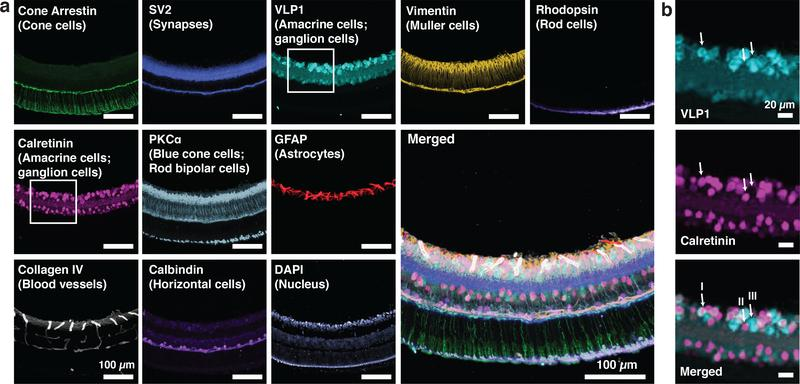 Exchange-SABER in mouse retina cryosections. (a) 10 protein targets labeling various retinal cell types were visualized in 40 μm mouse retina cryosections. The markers targeted with Immuno-SABER were Rhodopsin (rod photoreceptors), GFAP (astrocytes), Vimentin (Muller cells 9 ), Collagen IV (blood vessels), three calcium binding proteins 49 , 50 VLP1, Calretinin (found in a subset of amacrine and ganglion cells) and Calbindin (note that although Calbindin was suggested to be also found in a subset of amacrine and ganglion cells, the Calbindin antibody used here mostly labels horizontal cells 50 ), and PKCα (blue cone cells and rod bipolar cells 50 ). The sections were first incubated with all DNA-conjugated antibodies simultaneously. All SABER concatemers were then added simultaneously to the sample, followed by washing and sequential incorporation of the imager strands and multi-round imaging. A z-stack of images was acquired for each target, and DAPI was imaged in every exchange cycle to monitor sample drift. The maximum projected images of each stack were computationally aligned using a subpixel registration algorithm using DAPI as the drift marker 9 , and pseudo-colored for the overlay presentation. (b) Zoom-in view of the area marked by the white rectangle in a . Three cell subtypes (marked with arrows, I: VLP1 + and Calretinin + , II: VLP1 − and Calretinin + , III: VLP1 + and Calretinin − ) can be differentiated based on VLP1 and Calretinin expression.