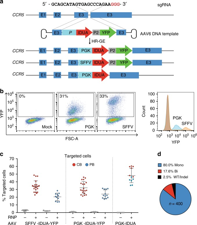 Efficient CRIPR/Cas9-mediated integration of IDUA overexpression cassettes into the CCR5 locus in human CD34+ HSPCs. a Schematic of targeted integration of IDUA and expression cassettes. The AAV6 genome was constructed to have 500 bp arms of homology centered on the cut site, and the IDUA sequence placed under the control of the SFFV or the PGK promoter (E = Exon). In two DNA templates, YFP was expressed downstream of IDUA using the self-cleaving P2A peptide. b Representative FACs and histogram plots 3-days post-modification of mock and human HSPCs that underwent RNP and AAV6 exposure with YFP-containing expression cassettes. c Targeting frequencies in cord blood (CB, red dots) and adult peripheral blood (PB, blue dots)-derived HSPCs read by percent fluorescent cells in YFP-expressing cassettes and percent colonies with targeted CCR5 alleles by single cell-derived colony genotyping in cassettes without the reporter. Each dot represents the average of duplicates for a human cell donor. For RNP + AAV6 conditions with YFP templates, n = 20 and n = 11 independent human donors for CB and PB respectively. For the template without selection n = 6 independent human donors in CB and PB. Data shown as mean ± SD. d Distribution of wild type (WT), mono and bi-allelically modified cells ( n = 400) in YFP-positive HSPCs