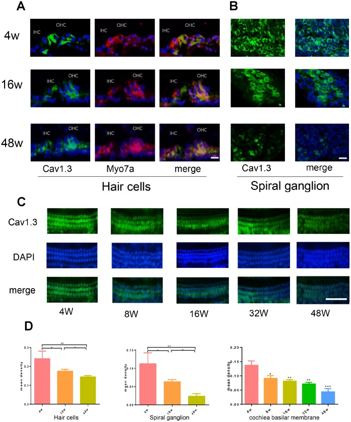 Age-related Cav1.3 expression in cochlea. ( A , B ) immunofluorescence of CaV1.3(green) and Myo7a (red) in the organ of Corti (left) and spiral ganglion (right) (magnification, ×400), nuclei was visualized by DAPI (blue). ( C ) the immunofluorescent staining for CaV1.3 (green) in the whole cochlear basilar membrane. ( D ) quantitative analysis of CaV1.3 expression in hair cells, spiral ganglion and cochlea basilar membrane.