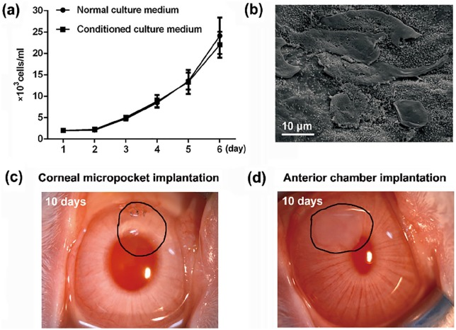 Cytotoxicity, cytocompatibility, and biocompatibility examinations of porcine corneal stroma decellularized with SLG and <t>supernuclease:</t> (a) The proliferation curve of HECEs during 6 days' cultivation in normal or conditioned culture medium ( n = 3 per group). (b) SEM micrographs of HCECs at 3 days after the cultivation on the surface of a DPC ( n = 3). (c) Rabbit corneal micropocket implantation results and (d) rabbit anterior chamber implantation results at 10 days postoperation ( n = 3 per group).